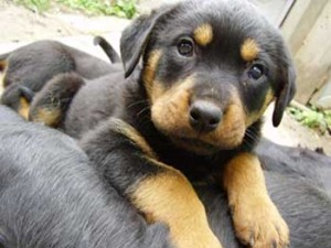 Rottweiler_Puppies_Picture