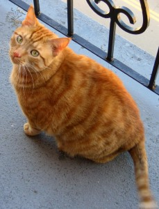 Orange_Tabby_Cat_On_Balcony