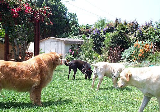 Dogs playing safely in a wireless containment zone